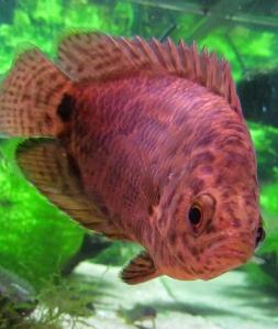 pantterikiipijäkala värit
