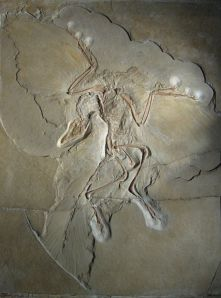 443px-Archaeopteryx_lithographica_(Berlin_specimen)