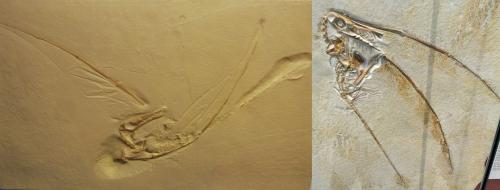 rhamphorhynchus wing impressions