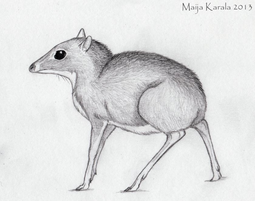 tragulus kanchil kääpiökauris chevrotain maija karala