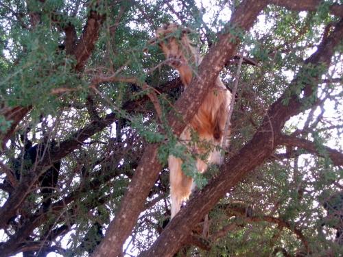 TreeCimbingGoat