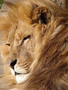 450px-Lion_06584