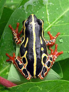 450px-Tree_frog_congo