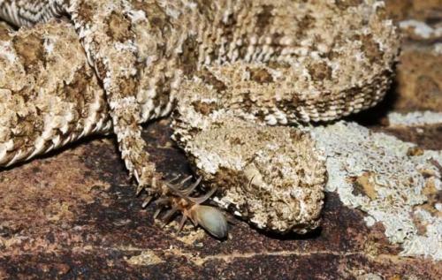Pseudocerastes_urarachnoides