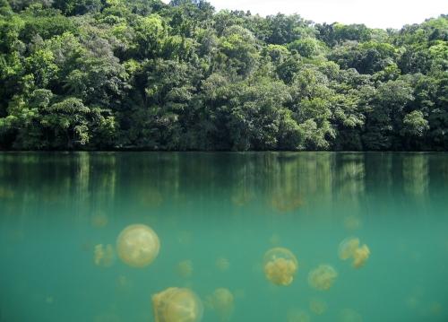Jellyfish_Lake