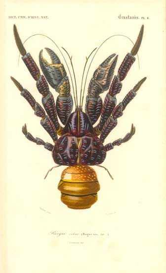 CoconutCrabDictionnaireDHistoireNaturelle1849