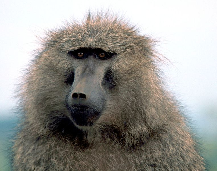 763px-Olive_baboon1