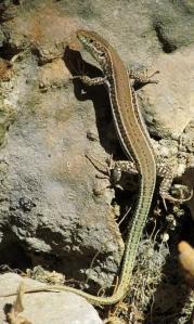 podarcis_cretensis