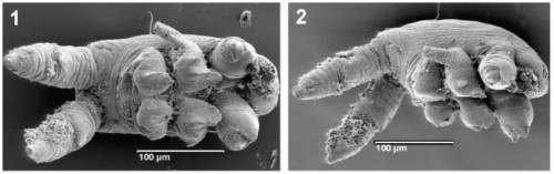 pycnogonid_larva_cambrian