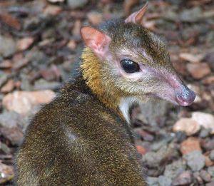 687px-Lesser_Mouse_Deer_(Tragulus_Javanicus)