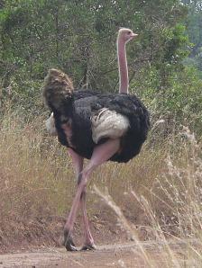 Masai_ostrich
