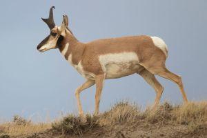 1024px-Antilocapra_americana_male_(Wyoming,_2012)