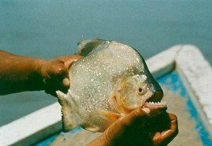 Piranha_medium