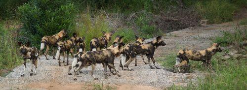 Wild_Dog_Kruger_National_Park_South_Africa
