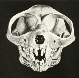 Sunda_Slow_Loris_(Nycticebus_coucang)_skull