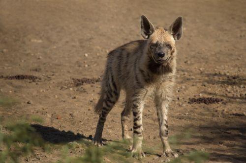 1024px-Striped_Hyena_Adult