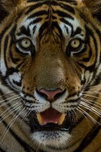 Tiger_facial_marking_Sultan_(T72)_Ranthambhore_India_12.10.2014