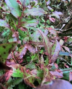 madeiranmustikka_vaccinium_padifolium