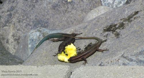 madeiranmuurisisilisko_banaani_madeira_wall_lizard_maija_karala