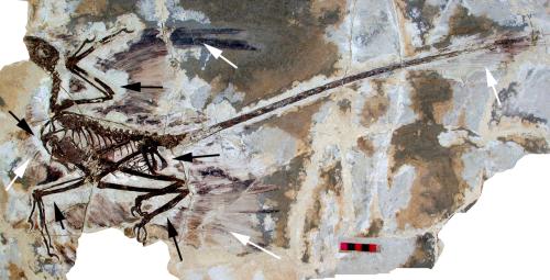 1280px-Microraptor_gui_holotype