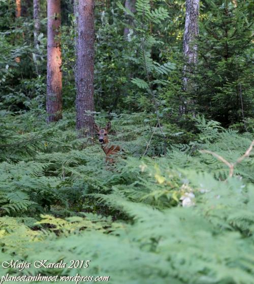 ahvenanmaa_metsäkauris