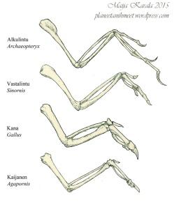 lintujen_evoluutio_siipi_luut_anatomia_maija_karala