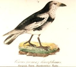 Corvus_corax_varius_morpha_leucophaeus