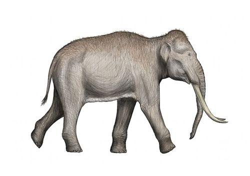 800px-Elephas-antiquus