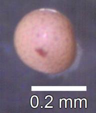 Artemia_salina_cyst.tif
