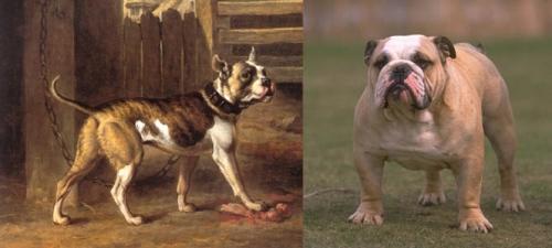 bulldoggi_ennen_ja_nyt