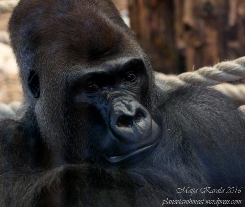 lontoon_eläintarha_gorilla