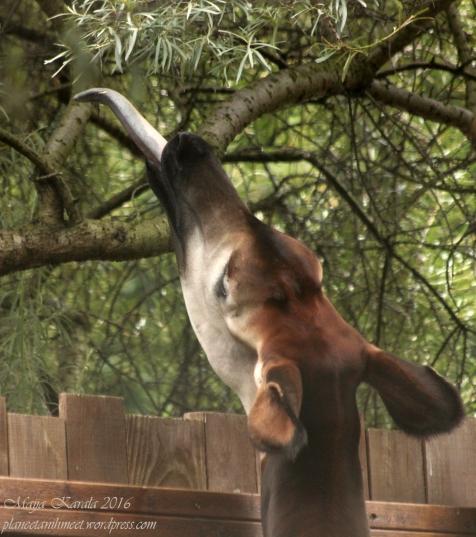 lontoon_eläintarha_okapi