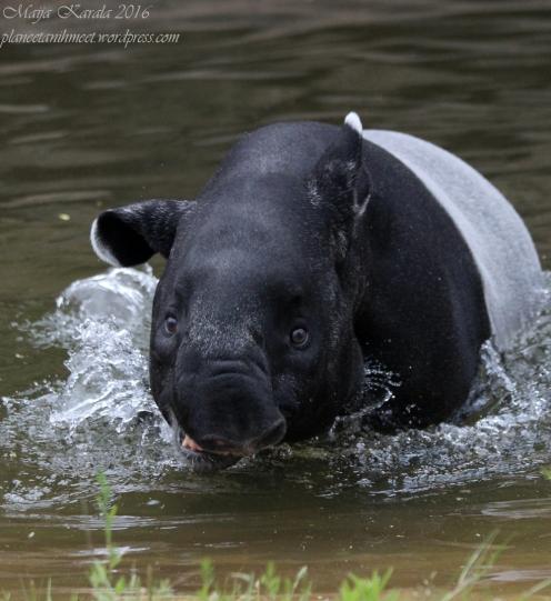 lontoon_eläintarha_tapiiri