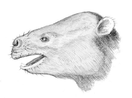 phosphatherium_-_head_restoration-tif