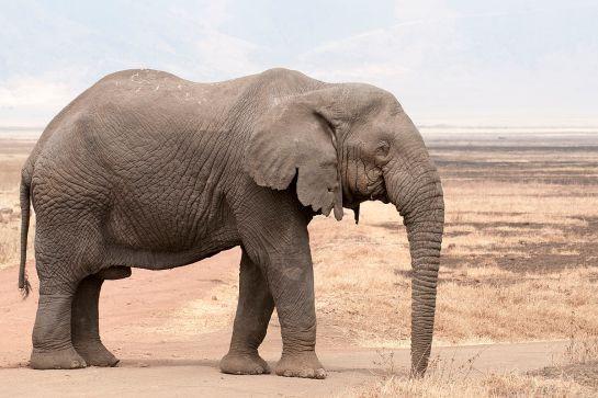 1200px-loxodonta_africana_-_old_bull_ngorongoro_2009