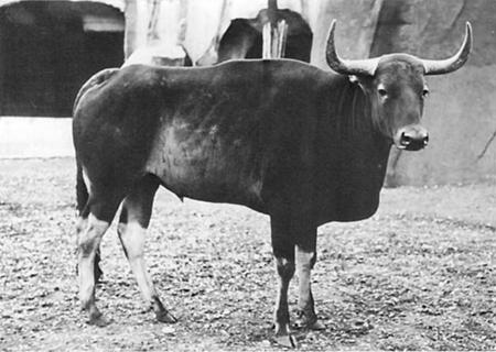 kouprey_at_vincennes_zoo_in_paris_by_georges_broihanne_1937