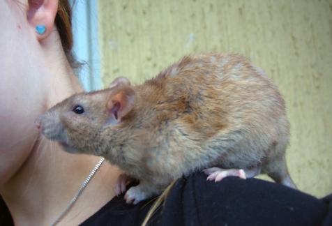 rotta_olkapäällä