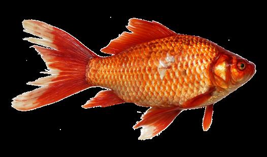 goldfish-1900832_1280