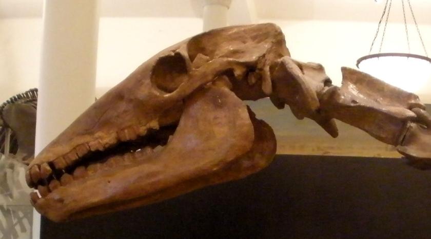 Macrauchenia_patachonica_skull