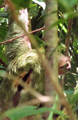 1200px-Brown-throated_three-toed_sloth_male