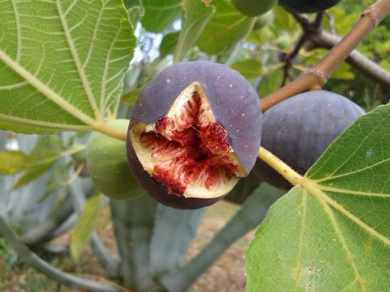 Ficus_plant