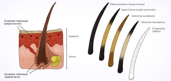nisäkkään ihon rakenne, karvat ja pigmentti