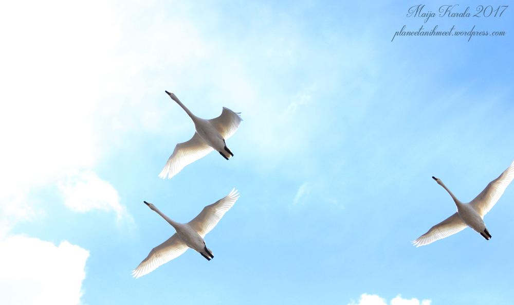 sata lintua laulujoutsen
