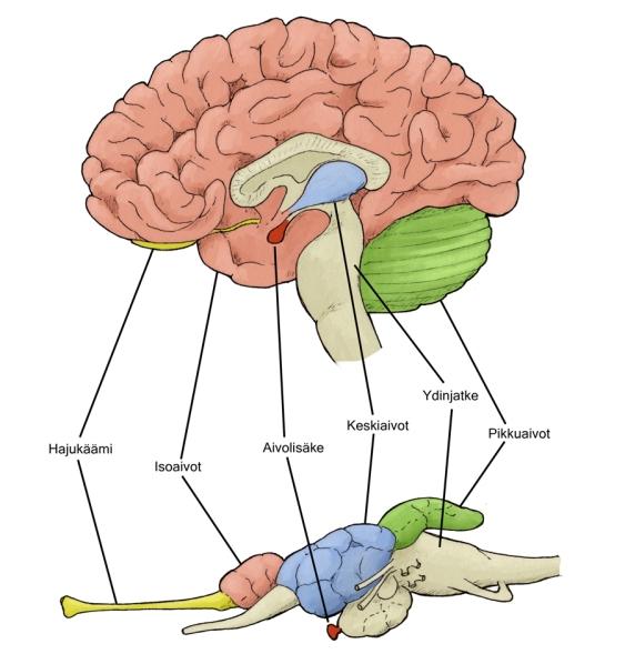 aivot vertailu pieni