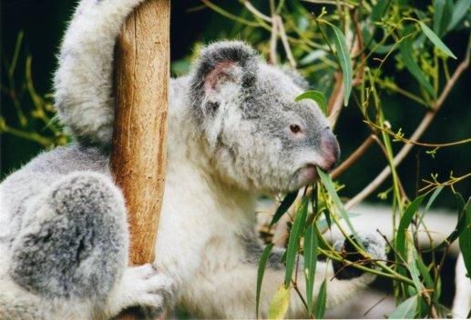 Koala-ag1