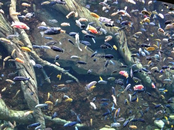 Lac_Malawi_Cichlid_tank_Georgia_Aquarium