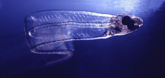 1200px-LeptocephalusConger.jpg