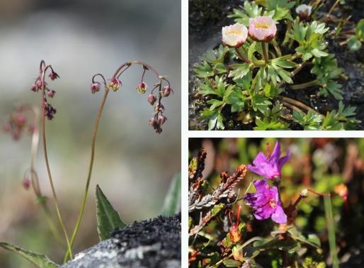kilpisjärvi saana huippu tunturiängelmä jääleinikki lapinalppiruusu