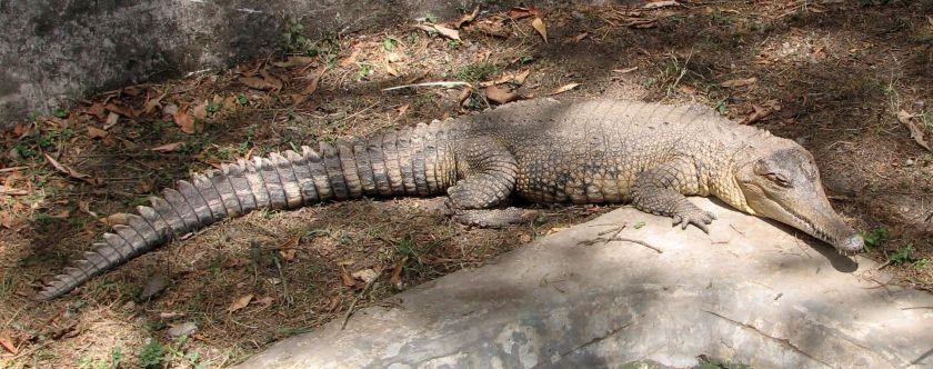 Crocodylus_cataphractus_2009