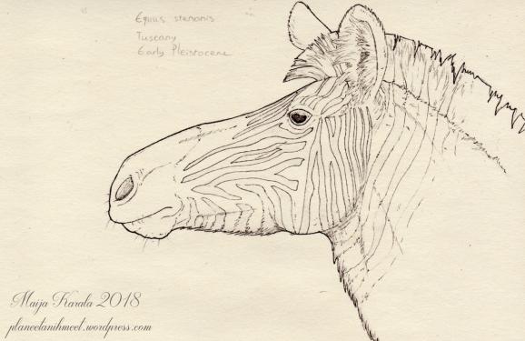 equus stenonis nimi pieni